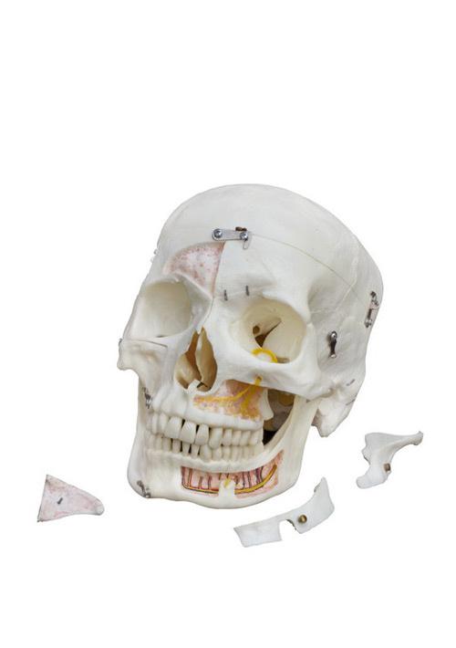 Демонстрационная модель черепа человека