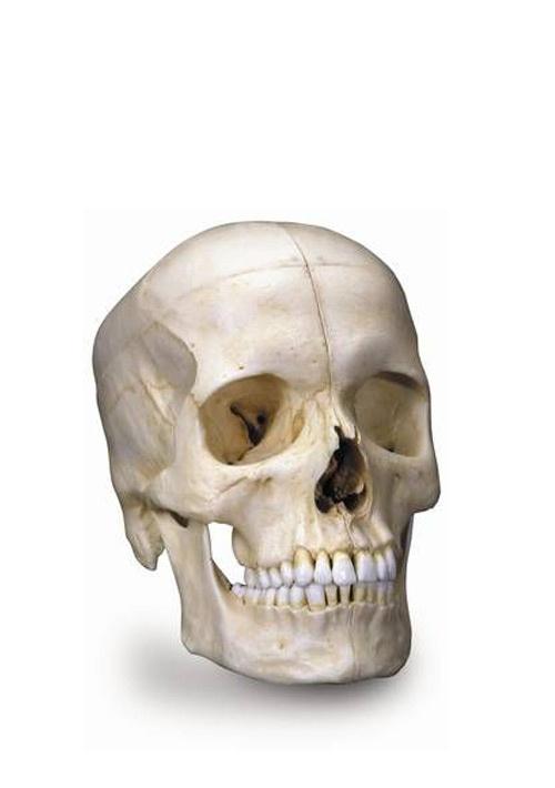 Модель для изучения костного строения черепа