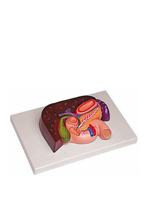 Печень с поджелудочной железой, двенадцатиперстной кишкой и селезёнкой. Размер натуральный