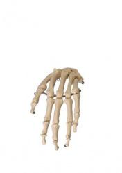 Гибкая модель скелета кисти