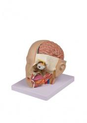 Модель головы. 4 части