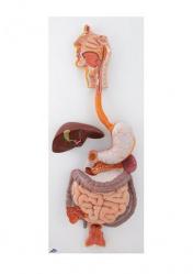 Модель пищеварительной системы, 3 части