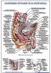 "Плакат ""Анатомия органов таза мужчины"" pg0024"