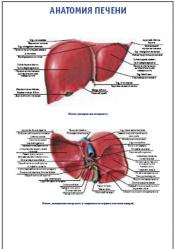 "Плакат ""Анатомия печени"" pg0014"