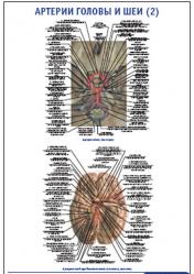 """Плакат """"Артерии головы и шеи 2"""" pg0051-2"""