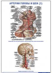 """Плакат """"Артерии головы и шеи 3"""" pg0051-3"""