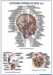 """Плакат """"Артерии головы и шеи 4"""" pg0051-4"""