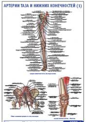 """Плакат """"Артерии таза и нижних конечностей 1"""" pg0053-1"""