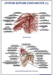 "Плакат ""Артерии верхних конечностей 1"" pg0050-1"