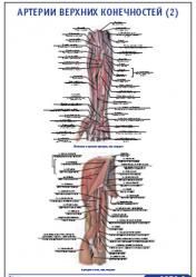 "Плакат ""Артерии верхних конечностей 2"" pg0050-2"