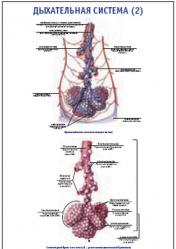 """Плакат """"Дыхательная система 2"""" pg0092-4"""
