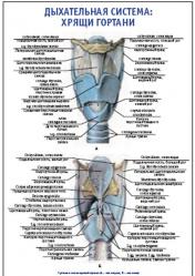 """Плакат """"Дыхательная система: хрящи гортани"""" pg0092-3"""