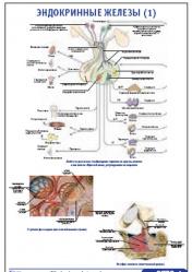 """Плакат """"Эндокринные железы 1"""" pg0073-1"""
