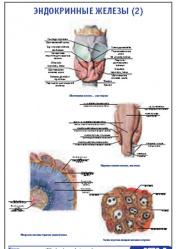"""Плакат """"Эндокринные железы 2"""" pg0073-2"""
