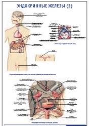 """Плакат """"Эндокринные железы 3"""" pg0073-3"""