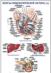 """Плакат """"Железы пищеварительной системы 1"""" pg0062-1"""