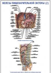 """Плакат """"Железы пищеварительной системы 2"""" pg0062-2"""