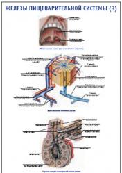 """Плакат """"Железы пищеварительной системы 3"""" pg0062-3"""