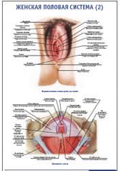"""Плакат """"Женская половая система 2"""" pg0064-2"""