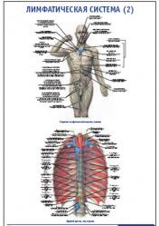 """Плакат """"Лимфатическая система 2"""" pg0066-2"""
