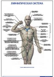 """Плакат """"Лимфатическая система"""" pg0029"""