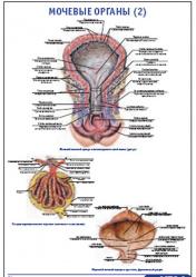 """Плакат """"Мочевыделительная система 3"""" pg0070-3"""