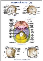 """Плакат """"Мозговой череп 2"""" pg0043-2"""