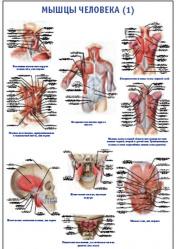 """Плакат """"Мышцы человека 1"""" pg0030"""