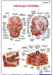 """Плакат """"Мышцы головы"""" pgk010"""