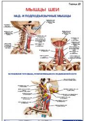 """Плакат """"Мышцы шеи. Над- и подподъязычные мышцы"""" pgk020"""