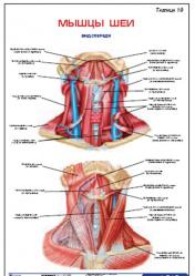 "Плакат ""Мышцы шеи. Вид спереди"" pgk019"