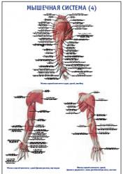 "Плакат ""Мышечная система 4"" pg0044-4"