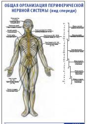 """Плакат """"Общая организация периферической нервной системы"""" (вид спереди) pg0033"""