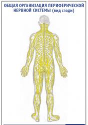 """Плакат """"Общая организация периферической нервной системы"""" (вид сзади) pg0032"""