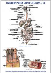 """Плакат """"Пищеварительная система 1"""" pg0063-1"""