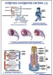 """Плакат """"Сердечно-сосудистая система 1"""" pg0068-1"""