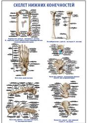 """Плакат """"Скелет нижних конечностей"""" pg0046"""
