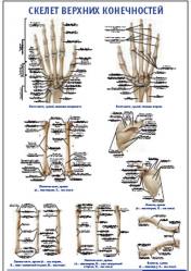 """Плакат """"Скелет верхних конечностей"""" pg0045"""