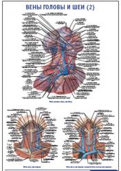 """Плакат """"Вены головы и шеи 2"""" pg0056-2"""