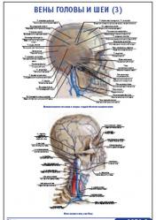 """Плакат """"Вены головы и шеи 3"""" pg0056-3"""