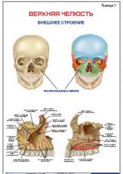 """Плакат """"Верхняя челюсть. Внешнее строение"""" pgk001"""