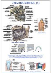 """Плакат """"Зубы постоянные 1"""" pg0039"""