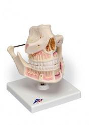 Зубы взрослого на подставке